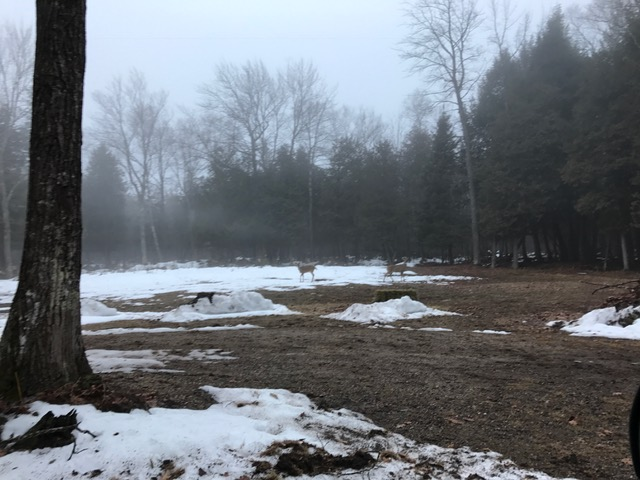 deer on a foggy morning in grayling