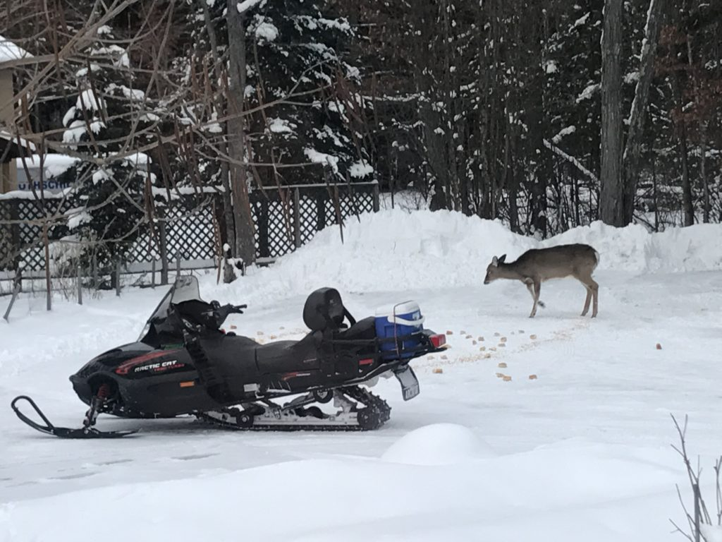 this deer wants to ride my sled